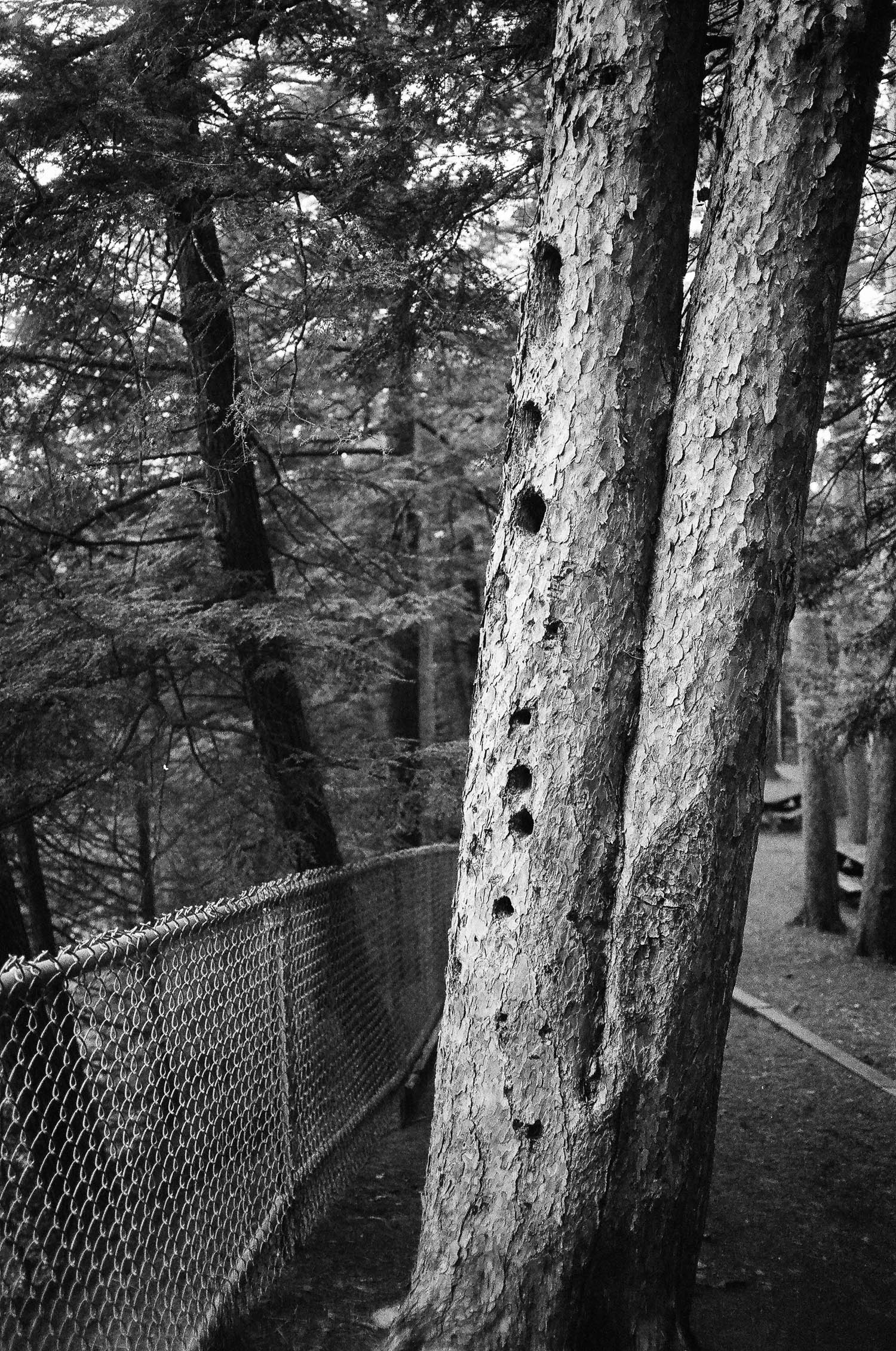 A tree riddled with holes from a woodpecker