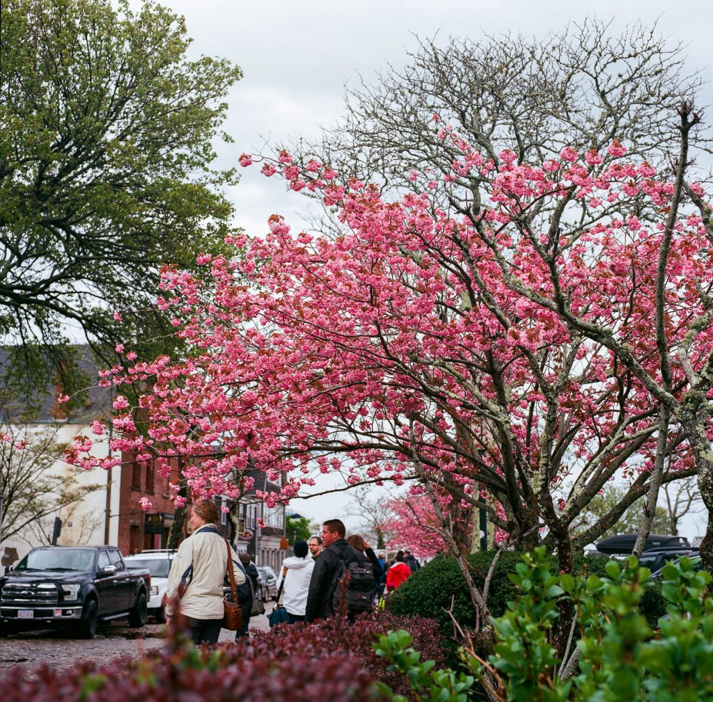 A tree in bloom in Nantucket